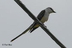 Scissor-tailed Flycather 11 June 18 11 (VMI Biology Department) Tags: 11june18 bird scissortailed flycatcher