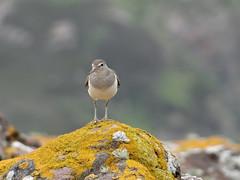Sandpiper (Ian Robin Jackson) Tags: sandpiper birds waders scottish scotland scottishbirds britishbirds rocks nature wildlife sony zeiss patterns lichen beautiful