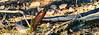 Red-Bellied Black snake (Pseudechis porphyriacus) (AWLancaster) Tags: snake animals wildlife native australia wintonwetlands redbelliedblacksnakepseudechisporphyriacus redbellyblack photowalk winter grasslands wetlands benalla victoria wild reptile fauna beautiful deadly
