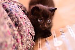 (Leela Channer) Tags: cat kitten animal nature black sage odin boy