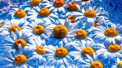 Bee Stepping Pads (kitwilliams91) Tags: sliderssunday hss daisy garden lightroom canon 5dmiv sunlight flower fauna