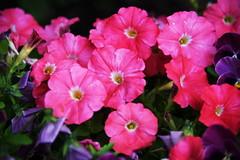 DSC_0253 Petunia (PeaTJay) Tags: nikond750 reading lowerearley berkshire macro micro closeups gardens outdoors nature flora fauna plants flowers petunia