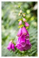 Digitalis purpurea (philturp) Tags: france fleur plantes flower larocheauxfées lechampsaintpère paysdelaloire vendée digitale chaillésouslesormeaux fr