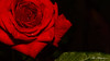 Red rose after slight rain (Milen Mladenov) Tags: 2018 landscape varbovchets blooming flower nature petals rose dew waterdrops stamens