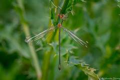 Petite macro. (musette thierry) Tags: macro libellule musette tameron nikon d800 belgium printemps insecte thierru vert capture photo photographie petit volant