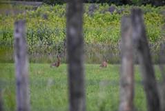 Lièvres (Leo Etcheberry) Tags: lièvres champs animaux mammifères beaujolais nikon d3400 70300
