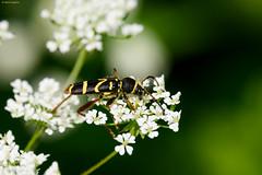 Wasp Beetle (Clytus arietis) (Hoppy1951) Tags: abergavenny monmouthshire wales uk gbr clytha allanhopkins hoppy1951 waspbeetle clytusarietis taxonomy:kingdom=animalia animalia taxonomy:phylum=arthropoda arthropoda taxonomy:subphylum=hexapoda hexapoda taxonomy:class=insecta insecta taxonomy:subclass=pterygota pterygota taxonomy:order=coleoptera coleoptera taxonomy:suborder=polyphaga polyphaga taxonomy:infraorder=cucujiformia cucujiformia taxonomy:superfamily=chrysomeloidea chrysomeloidea taxonomy:family=cerambycidae cerambycidae taxonomy:subfamily=cerambycinae cerambycinae taxonomy:tribe=clytini clytini taxonomy:genus=clytus clytus taxonomy:species=arietis taxonomy:binomial=clytusarietis kuloštítníkberaní kleinewespenbok widderbock wespenbock escaravelho‑vespa clytebélier vespascarabeo taxonomy:common=kuloštítníkberaní taxonomy:common=kleinewespenbok taxonomy:common=widderbock taxonomy:common=wespenbock taxonomy:common=escaravelho‑vespa taxonomy:common=clytebélier taxonomy:common=vespascarabeo taxonomy:common=waspbeetle