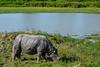 GSCF6966 (Deepak Kaw) Tags: composition colours travel fujifilm kaziranga assam india rhinoseros animal landscape
