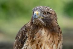 Bussard (michel1276) Tags: bussard buzzard bird birds birdofprey greifvogel raptor fe8514gm sonya7iii animal tier