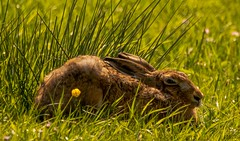 Brown Hare (xDigital-Dreamsx) Tags: wildlife nature animal hare naturephotography field rural grass flower reed