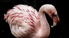 Flamingo (ΨᗩSᗰIᘉᗴ HᗴᘉS +27 000 000 thx) Tags: flamingo bird zoo pairidaiza hensyasmine namur belgium europa aaa namuroise look photo friends be wow yasminehens interest intersting eu fr greatphotographers lanamuroise tellmeastory flickering