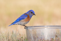 Western Bluebird I (dennis_plank_nature_photography) Tags: avianphotography thurstoncounty birdphotography naturephotography wa avian birds blind copse home littlerock nature prairies