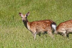 2018.05.27 Arne (62) (Kotatsu Neko 808) Tags: arne dorset rspb rspbarne deer sika sikadeer