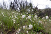 Calochortus Albus (Fairy Lantern) (Nathan Wickstrum) Tags: wills canyon spring 2018 calochortus albus fairy lantern globe lily ojaivalleylandconservancy