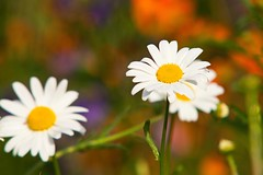 London Meadow.. (Adam Swaine) Tags: flowers flora daisies peckhamryepark england english gardens londonparks naturelovers nature canon uk ukcounties spring petals beautiful british 2018