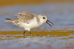 Sanderling (Calidris alba) (SharifUddin59) Tags: calidrisalba sanderling shorebird bird mudflat kahuku kahukuaquaponds northshore oahu hawaii honolulu calidris alba water