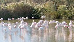 Flamingos (andyscho2004) Tags: camargue provence parcnaturelrégionaldecamargue parcornithologiquedupontdegau flamingo water birds pink wetland france nature nikon d7100 bouchesdurhone rhone rhonedelta flamingos