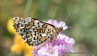 Another glanville Fritillary