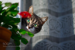 My beautiful cat (KevinBJensen) Tags: soft cat fluff laying down backlight daylily hide seek floral peek adorable bloom british shorthair