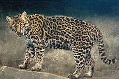 Restless Ocelot (Ruth Voorhis) Tags: cat wildcat zooanimal spottedcoat fur