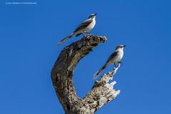 Tropical mockingbird,Moqueur des savanes ,Mimus gilvus (beluga 7) Tags: islaholbox mexique mexico beach plage travel voyage yucatan tropicalmockingbird moqueurdessavanes mimusgilvus
