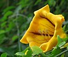 Yellow Datura! ('cosmicgirl1960' NEW CANON CAMERA) Tags: eden project cornwall plants flowers worldflowers nature green yabbadabbadoo
