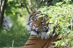 Tigresse de Sumatra_NILA (Passion Animaux & Photos) Tags: tigre sumatra sumatran tiger panthera tigris persica zoo pal france