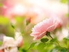 heavenly rose (Tomo M) Tags: rose bokeh blur nature pink bright light flower bud petal 横浜イングリッシュガーデン hbw soft pastel dreamy canonef50mmf14usm