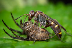 Wasp with Araneid - Gorongosa National Park, Mozambique (Thomas Shahan 3) Tags: pentax gorongosa mozambique bugshot workshop africa k3 macro macrophotography vivitar 55mm teleconverter entomology arthropod wildlife
