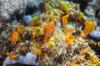 Orange patch (Arne Kuilman) Tags: philippines filipijnnen diving duiken anilao mayumi underwater 60mm macro orange sponges sponge