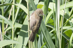 "reedwarbler • <a style=""font-size:0.8em;"" href=""http://www.flickr.com/photos/157241634@N04/27812019407/"" target=""_blank"">View on Flickr</a>"