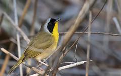 Paruline masquée // Common Yellowthroat (Alexandre Légaré) Tags: parulinemasquée commonyellowthroat geothlypistrichas oiseau bird animal wildlife nature nikon d7500