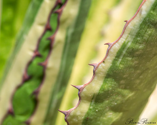 Prickly Paradise: Century Plant