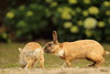 Considerate (Teruhide Tomori) Tags: rabbit wild animal ohkunojimaisland hiroshima takehara japan japon ウサギ アナウサギ 大久野島 広島 竹原 瀬戸内海 setoinlandsea 動物 野生 nature 自然