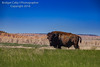 Tatanka, Badlands National Park (Bridget Calip - Alluring Images) Tags: 2018 alluringimagescolorado america badlandsnationalpark bridgetcalip llc mountains nationalpark southdakota usa arid canyon desertcandles desolate dry ecology empty endless environment erosion fossils geologicalformation grass grasslands habitat hot land landscape meadow peaceful prairie remote sandstonerockformations scenery scenicdrive solitude spring stark strata stunning terrain tourism traveldestination vacation vast vegetation wavesofgrain wilderness wind windswept