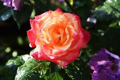 DSC_0219 (PeaTJay) Tags: nikond750 reading lowerearley berkshire macro micro closeups gardens outdoors nature flora fauna plants flowers rose roses rosebuds raindrops