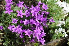 IMG_0215 (LOLODUTERRIER) Tags: fleur été rouge rose mauve jaunes lys pavot marguerite parfum macro senteur