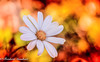 White Inspiration (frederic.gombert) Tags: flower flowers light white color fire orange bloom blossom colored colorful spring macro summer nikon