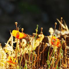 Let the sun shine … on the poppies (Le.Patou) Tags: flower fleur coquelicot poppy poppies jaune yellow orange brun brown song madère madeira floresça marrom papoula amarela laranja fz1000