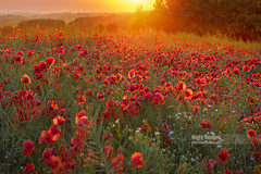 The Great Outdoors (Nick Brundle - Photography) Tags: agriculture backgrounds denmark dusk field flower jutland landscape meadow nature petal plant poppy red scandinavia scenics sky summer sunlight sunset tranquility vitality wideangle wildflower nikond750 nikon2470mmf28 gettyimages d750