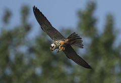 Hobby - Fast Food Expert (Ann and Chris) Tags: hunting hobby raptor wildlife nature animal suffolk canon7dmarkii avian