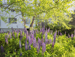 Lupine... Lupine... Lupine... Lupine... Lupine... - Tenants Harbor Maine (Jonmikel & Kat-YSNP) Tags: maine tenantsharbor me stgeorge oldwoodsfarm summer farmhouse barn plants lupine flowers outside tree green purple