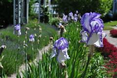 DSC_2371 (porschejonestheartist) Tags: strawberry banke strawbery portsmouth nh newhampshire flowers garden plants iris