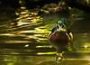 Wood duck (docoverachiever) Tags: pond duck oregon reflection waterfowl wetland water digitalart bird