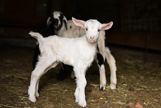 baby goat..