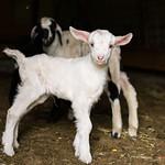 baby goat.. thumbnail