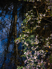 Floating Leaves (Steve Taylor (Photography)) Tags: blue brown green yellow water lake newzealand nz southisland canterbury christchurch tree leaves reflection winter sky