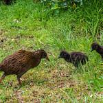 Weka & Chicks thumbnail