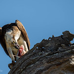 Osprey enjoying its catch thumbnail