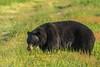 088A0841 (Confusion_Circle) Tags: black bear coquitlam britishcolumbia canada ca